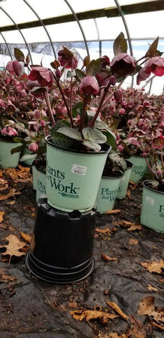 Hellebore Or Lenton Rose 'Frostkiss® Pennys Pink' - 8 In. Crop Shot for 2020-12