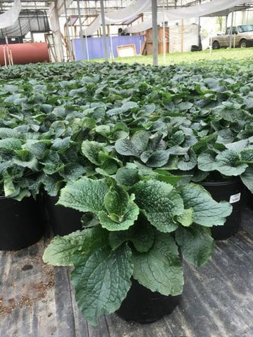 Foxglove - 2 Gal. Crop Shot for 2019-19