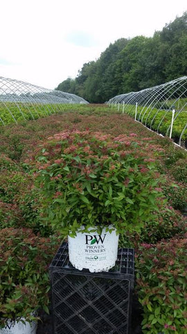 Spirea 'Double Play® Red' - 3 Gal. Crop Shot for 2019-33