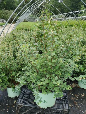 Snowberry 'Magical® Avalanche' - 3 Gal. Crop Shot for 2020-31