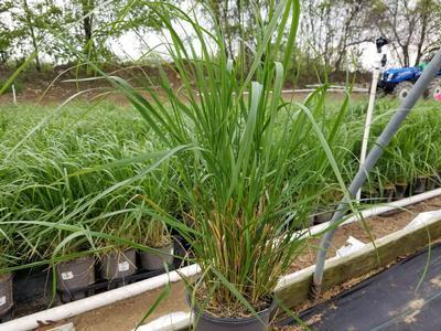 Ornamental Grass - Feather Reed Grass 'Karl Foerster' - 1 Gal. Crop Shot for 2019-19