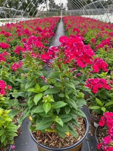 Phlox-Garden Volcano® 'Red' - 2 Gal. Crop Shot for 2020-37