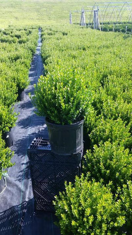 Boxwood 'Baby Gem' - 3 Gal. Crop Shot for 2019-32