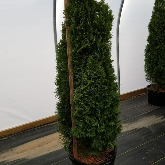 Arborvitae 'Smargd' - 10 Gal. Crop Shot for 2020-47