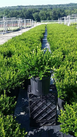 Boxwood 'Winter Gem' - 3 Gal. Crop Shot for 2019-32