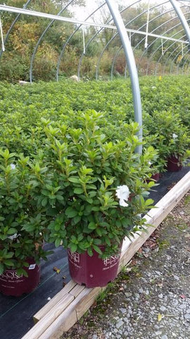 Azalea 'Encore® Autumn Lily™' - 3 Gal. Crop Shot for 2019-39