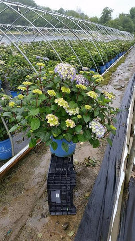 Hydrangea-Big Leaf 'Endless Summer® Bloomstruck®' - 5 Gal. Crop Shot for 2019-23