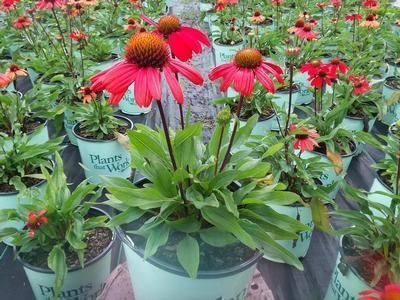 Coneflower 'Kismet™ Intense Orange' - 8`` Crop Shot for 2018-35