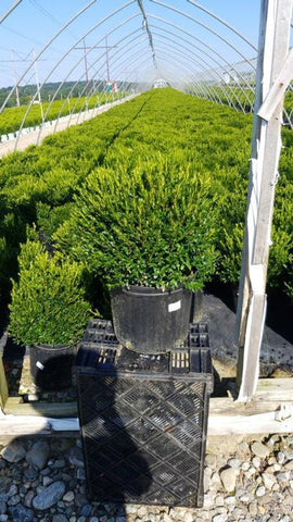 Boxwood 'Justin Brouwer' - 3 Gal. Crop Shot for 2020-36