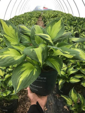 Hosta 'Morning Star' - 8`` Crop Shot for 2018-19