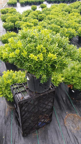 Boxwood 'Tide Hill' - 3 Gal. Crop Shot for 2020-30