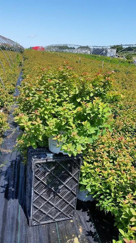 Spirea 'Double Play® Big Bang™' - 3 Gal. Crop Shot for 2019-33
