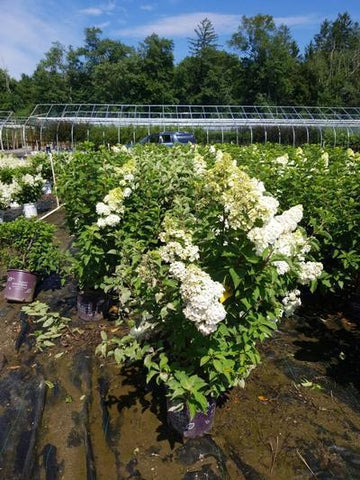 Hydrangea-Panicle 'Berry White®' - 3 Gal. Crop Shot for 2020-30
