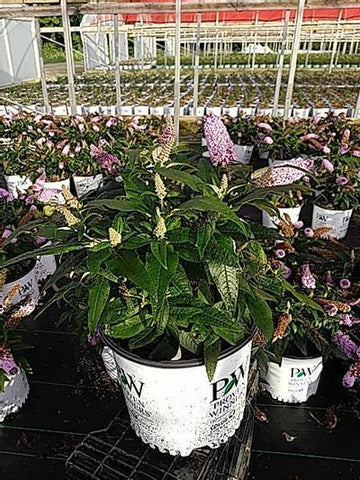 Butterfly Bush Pugster® 'Amethyst' - 3 Gal. Crop Shot for 2020-30