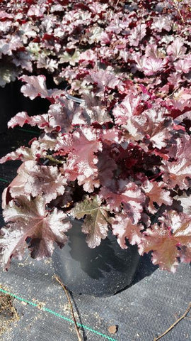 Coral Bells 'Plum Pudding' - 2 Gal. Crop Shot for 2019-36