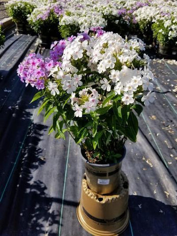 Phlox-Garden Volcano® 'Medley' - 1 Gal. Crop Shot for 2020-26