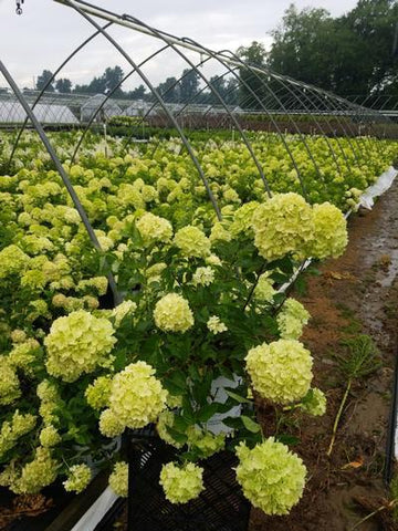 Hydrangea-Panicle 'Little Lime®' - 2 Gal. Crop Shot for 2020-30