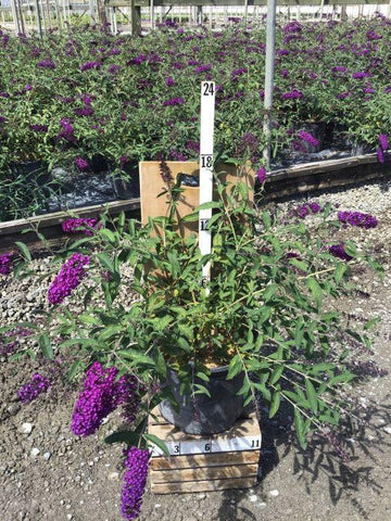 Butterfly Bush - 'Royal Red' - 3 Gal. Crop Shot for 2020-34