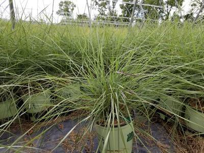 Ornamental Grass - Muhly Grass - 1 Gal. Crop Shot for 2019-23