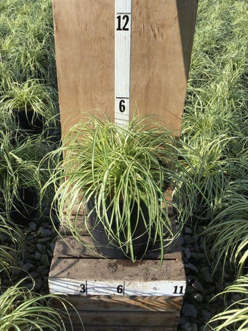 Sedge - 'Evergold' - 1 Gal. Crop Shot for 2020-31