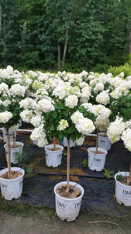 Hydrangea-Panicle 'Fire Light® - Tree Form' - 7 Gal. Crop Shot for 2019-28