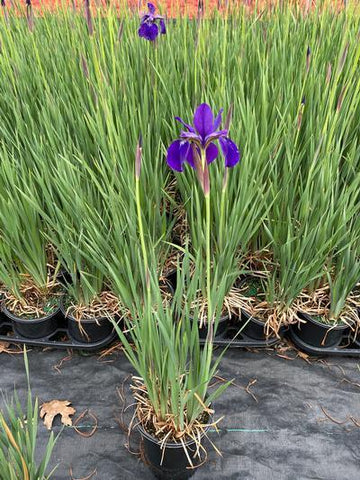 Iris-Siberian 'Caesars Brother' - 1 Gal. Crop Shot for 2020-21