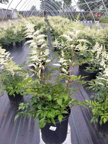 Astilbe 'Deutschland' - 2 Gal. Crop Shot for 2019-24