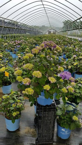 Hydrangea-Big Leaf 'Endless Summer® Bloomstruck®' - 2 Gal. Crop Shot for 2019-23