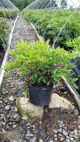 Rhododendron 'Roseum' - 5 Gal. Crop Shot for 2019-24