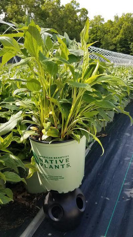Coneflower 'Mellow Yellows' - 2 Gal. Crop Shot for 2020-22