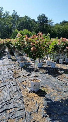 Hydrangea-Panicle 'Quick Fire® - Tree Form' - 7 Gal. Crop Shot for 2019-32