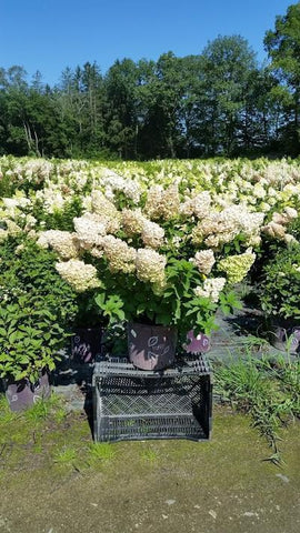 Hydrangea-Panicle 'Strawberry Sundae®' - 5 Gal. Crop Shot for 2019-32
