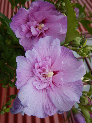 Lavender Chiffon™ Rose of Sharon - #10 Crop Shot for 2017-30