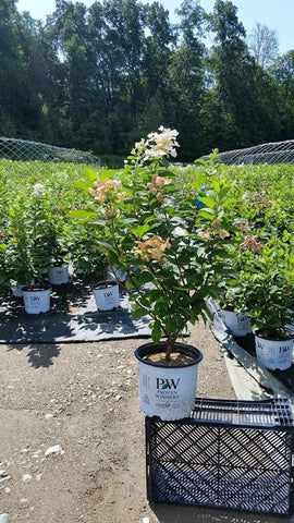 Hydrangea-Panicle 'Quick Fire®' - 3 Gal. Crop Shot for 2019-33