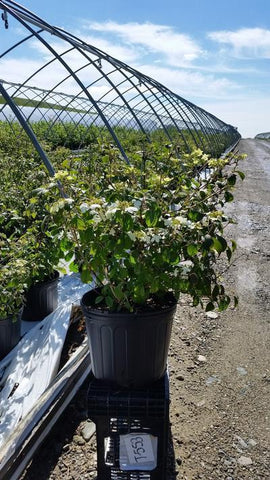 Viburnum 'Summer Snowflake' - 2 Gal. Crop Shot for 2019-19