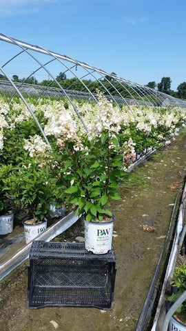 Hydrangea-Panicle 'Pinky Winky®' - 3 Gal. Crop Shot for 2019-32