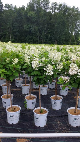 Hydrangea-Panicle 'Quick Fire® - Tree Form' - 7 Gal. Crop Shot for 2019-28