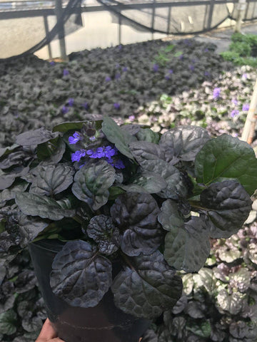 Bugleweed 'Black Scallop' - #1