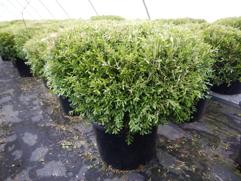 Boxwood 'Franklins Gem' - #6