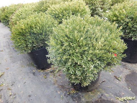 Buxus microphylla Var.Japonica 'Green Gem'-#5 Container<br/>Green Gem Boxwood