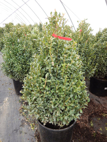 Buxus microphylla  'Julia Jane'-#5 Container<br/>Julia Jane Boxwood
