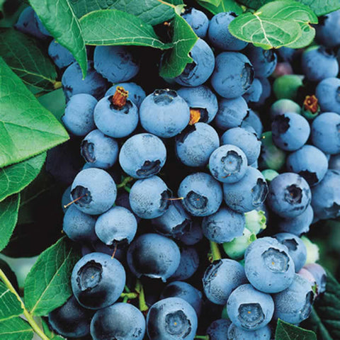 Blueberry - Northern Highbush 'Bluecrop' - 8 Inch