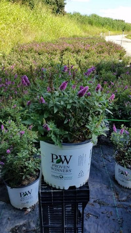 Butterfly Bush 'Lo & Behold® Pink Micro Chip' - 2 Gal.