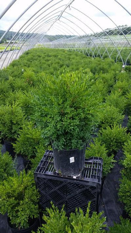 Boxwood 'Green Gem' - 2 Gal.