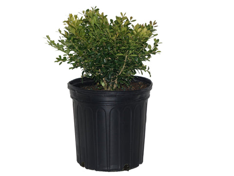 Boxwood 'Tide Hill' - 2 Gal.