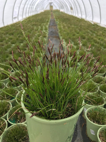 Ornamental Grass - Pennsylvania Sedge - 1 Gal.