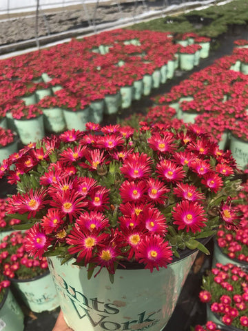 Iceplant 'Jewel Of The Desert Garnet' - 8 In.