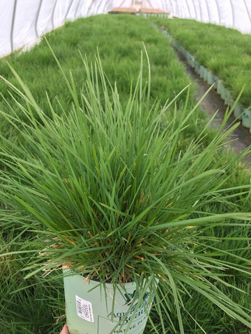 Ornamental Grass - Tufted Hair Grass 'Pixie Fountain' - 1 Gal.