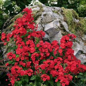 Phlox volcano 'Red'-#1 Container<br/>Volcano? Red Garden Phlox