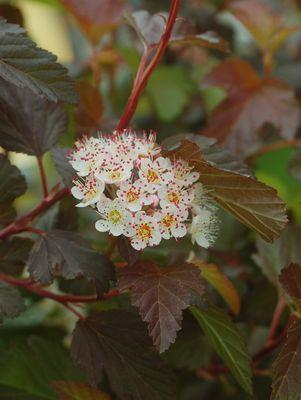 Physocarpus opulifolius 'Summer Wine'-#2 Container<br/>Summer Wine Common Ninebark